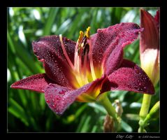 Day lily by LHS-Laurence