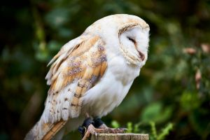 Barn Owl In Denial by mistersaxon