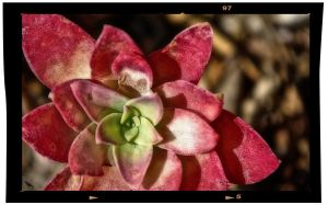 Succulent. by jennystokes