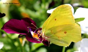 Brimstone Butterfly 2 by bluesgrass