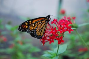 Monarch Butterfly Stock 3 by chamberstock