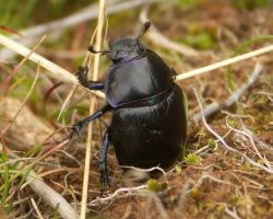 Black beetle close-up by duncan-blues