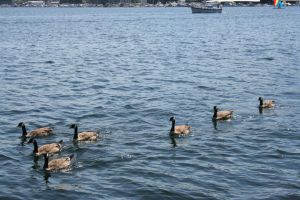 Geese At Gasworks by lovintherain