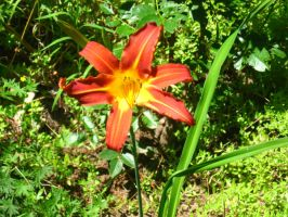 red daylily by crazygardener