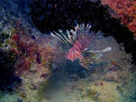 Lion Fish on The Reef by RandySprout