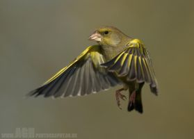 Greenfinch by Albi748