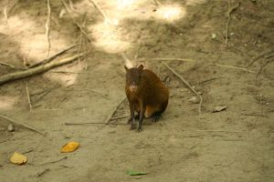agouti stock 2 by hyannah77-stock