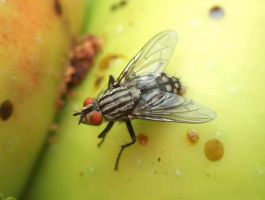 Macro Flesh Fly by biggyp