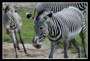 zebra in the herd by declaudi