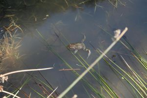 floating frog by Cora-Leigh