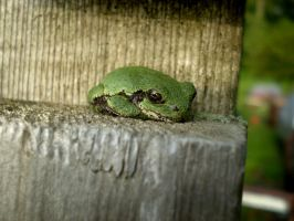 Green Colored Grey Tree Frog 3 by NicoleN22