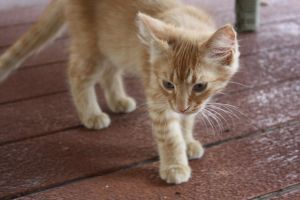 ginger kitten 15 by xxtheSilent
