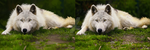 Wolf Digital Painting Comparison by arnyia