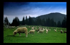 Sheep in Romania vol.1 by Othbaal