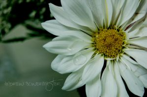 Close Up Flower... by Andrew-Bowermaster