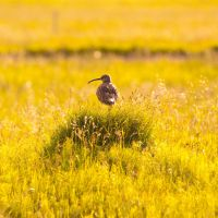 Whimbrel by Goro38