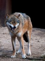 angry wolf by emkacf