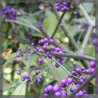 Purple Berries by aquifer