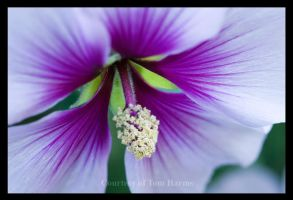 Purple Effusion by acutely