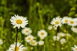 'Leucanthemum Vulgare' by Machirude
