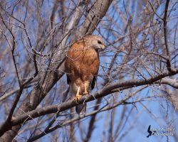 Red Shouldered Hawk 3 by EdgedFeather