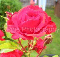 Red Rose by i4Photography