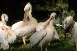 beautiful pelicans by ingeline-art