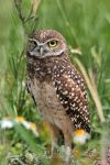 Burrowing Owl by papatheo