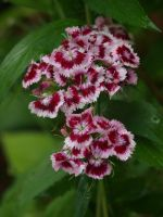 Sweet William 13 by botanystock
