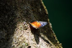 Butterfly by SaajidAkram