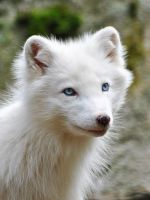 Arctic Fox by KattFloka