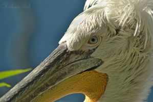 Blue Eyed Pelican by WorldsInWorld