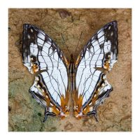 Butterfly 143 (Common Mapwing) by kiew1