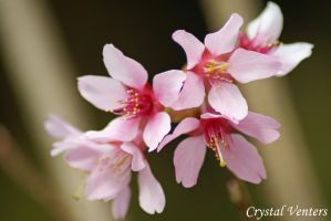 Okame Cherry Blossom by poetcrystaldawn