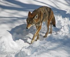 Red Wolf Stock 8 by HOTNStock