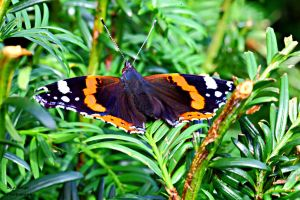Red Admiral by Okavanga