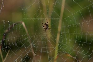How Spiders Drink I by LoneWolfPhotography