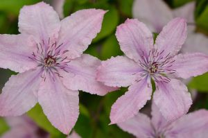 CLEMATIS by major-holdups