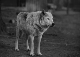 Grey Wolf by AdrianSadlier