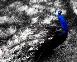Peacock Colour Splash by StuDocWho