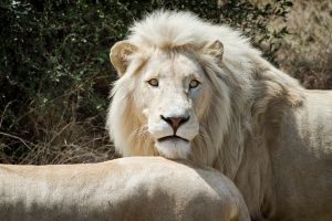 White Lion by PeteLatham