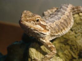 Claire Bearded Dragon Perch 002 by thebizzeebee