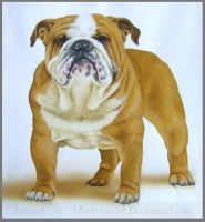 Bulldog by markstewart