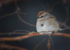 American Tree Sparrow by DGAnder