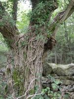 tree trunk with ivy 1 by RTyStock