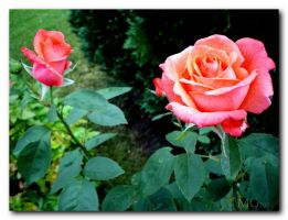roses_1 by cmg2901