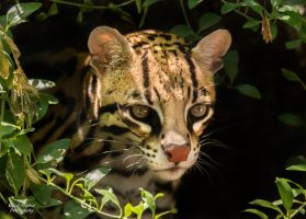 Ocelot by EdgedFeather
