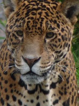 A jaguar at chester zoo by WolfyWitch