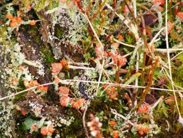 Lichen 04 by Axy-stock