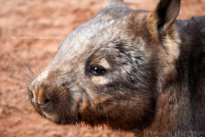 Wombat by The-Nutkase